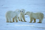 01874-10117 Polar Bears (Ursus maritimus)  sparring/fighting, Churchill MB