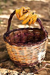 Per vendemmia si intende la raccolta delle uve da vino, in quanto ne Il caso delle uve da tavola si usa semplicemente il termine raccolta.  Il periodo di vendemmia varia tra luglio e ottobre (nell'emisfero settentrionale), e dipende da molti fattori, anche se in maniera generica si identifica con il periodo in cui le uve hanno raggiunto il grado di maturazione desiderato, cioè quando nell'acino il ra pporto tra la percentuale di zuccheri e quella di acidi ha raggiunto il valore ottimale per il tipo di vino che si vuole produrre. Se questo parametro è genericamente valido per le uve da tavola, nel caso di uve destinate alla produzione del vino è necessario considerare ulteriori parametri per decidere quando e come vendemmiare. Il momento della vendemmia può dipendere da diversi fattori : condizioni climatiche, zona di produzione e  tipo di vino che si vuole ottenere. I metodi di raccolta delle uve sono due: quello manuale, utilizzato per la produzione di vini di elevata qualità e degli spumanti metodo classico, in quanto è necessario operare una scelta selettiva dei grappoli e ciò comporta un inevitabile aumento dei costi di produzione;  e quello meccanico che ricorre ad agevolatrici, che velocizzano il lavoro manuale; e vendemmiatrici : delle vere e proprie macchine che vengono utilizzate per appezzamenti di piccole dimensioni sono generalmente delle macchine trainate accoppiate ad un trattore, per vigneti di dimensioni maggiori sono macchine semoventi. La raccolta dell'uva avviene in due maniere: con scuotimento verticale nelle macchine di origine americana, che necessitano di un filare GDC (Geneva Double Curtain) e a scuotimento laterale per le macchine francesi. Il prodotto che si stacca dalla pianta viene raccolto prima che tocchi terra, pulito da eventuali impurità e messo in una tramoggia che poi successivamente viene svuotata in rimorchi appositi. La vendemmia meccanica rappresenta alcuni vantaggi, infatti è più economica di quella manuale. Per produzioni che