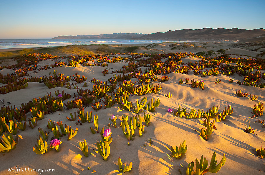 Sunrise lights the sand dunes and sea fig at Pismo Beach California
