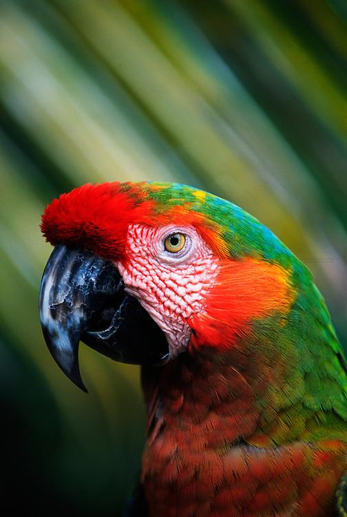 Macaw (Parrot) in the Garden of Eden, Hana Highway, Maui, Hawaii