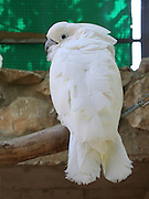 White parrot in a cage