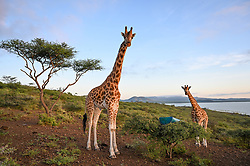 Rothschild's (Nubian) giraffes are stranded on Longicharo Island, a rocky lava pinnacle, inside Lake Baringo in western Kenya, November 26, 2020. Rising lake levels have cut the peninsula into an island, trapping the giraffes, and the local community is working with conservation organizations to keep them alive. The plan is to move the giraffe on a barge for 1.1. miles to the 4,400-acre fences sanctuary within the 44,000 acre Ruko Conservancy. The herd includes one make names Lbarnnoti and seven females: five adults named Nkarikoni, Nalangu, Awala, Asiwa and Nasieku; and two juveniles, Susan and Pasaka. Asiwa is isolated on a far part of the island. Today, fewer than 3,000 Rothschild's giraffes are left in Africa, with about 800 in Kenya.   (Photo by Ami Vitale)