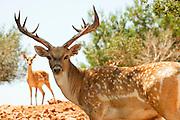 Israel, Carmel Mountains, Male Persian Fallow Deer (Dama dama Mesopotamica)