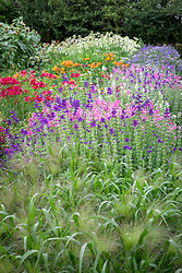 Beds with Panicum 'Frosted Explosion' and Salvia viridis. Blue Clary, Clary sage