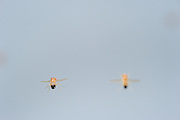Wild type Fruit Fly (Drosophila melanogaster) in filght in a lab culture. | Eine schillernde Erscheinung, tausendmal gesehen, doch aufgrund der geringen Größe nie gewürdigt: Taufliegen (Drosophila melanogaster) im Flug. Die Vergrößerung offenbart extremste Flugmanöver, Ausgleichsbewegungen mit Beinen und Körper und dabei der perfekte Rundumblick.