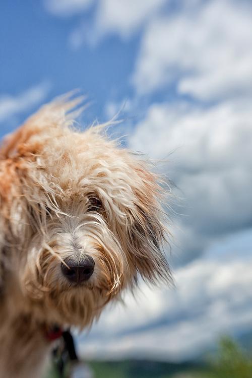 Headshot of a fluffy dog on mountain summit
