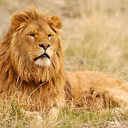 African Lion (Panthera leo) Portrait of a male. Captive Animal.