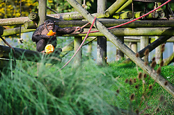 © Licensed to London News Pictures. 29/10/2013 Dunstable, UK. A chimpanzee eats a Halloween pumpkin in it's enclosure at Whipsnade Zoo, Dunstable. The animals are given the spooky treats as part of their dietary enrichment programme.<br /> Photo credit : Simon Jacobs/LNP
