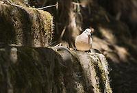 Eared Dove, Zenaida auriculata, perched on a wall at San Jorge de Quito eco-lodge, Quito, Ecuador