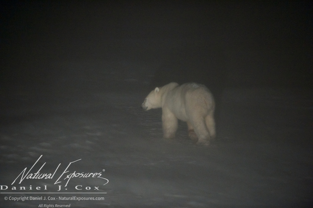 A polar bear, seen through the windshield of a Tundra Buggy on bear patrol, appears in the headlights, emerging from the darkness and blowing snow at Cape Chruchill as the Tundra Buggy crew reassembles the Tundra Buggy Lodge. Cape Churchill, Manitoba.