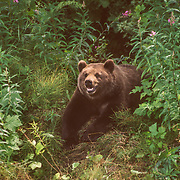 It was always sad to see bears that had become so completely dependent on garbage dumps as their main source of food. The bears that had been feeding at dumps for a long time always looked very mangy, often with fur scorched by the fires in the dump and tape worms trailing from their backsides. There have been many attempts by the Unites States National Forest Service to re-locate dump bears, sometimes long distances by helicopter, but they frequently return to their convenient diners.