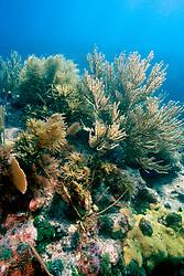 sea plumes, Pseudopterogorgia sp., sea fans, Gorgonia sp. and sea rods, Molasses Reef, Key Largo, Florida Keys National Marine Sanctuary, Florida, Atlantic Ocean