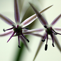 Star Shaped Allium