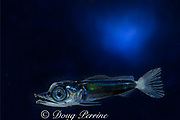 planktonic larva of Pacific blue marlin, Makaira nigricans, Kona, Hawaii, U.S.A. ( digital composite )