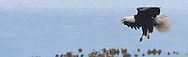Bald Eagle (Haliaeetus leucocephalus) (Halietus leucocephalus) approaches for a landing on a Pacific Oyster bed in Hood Canal of Puget Sound in Washington state, USA panorama