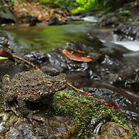 River toad (Phrynoidis aspera). Sarawak, Malaysia (Borneo).