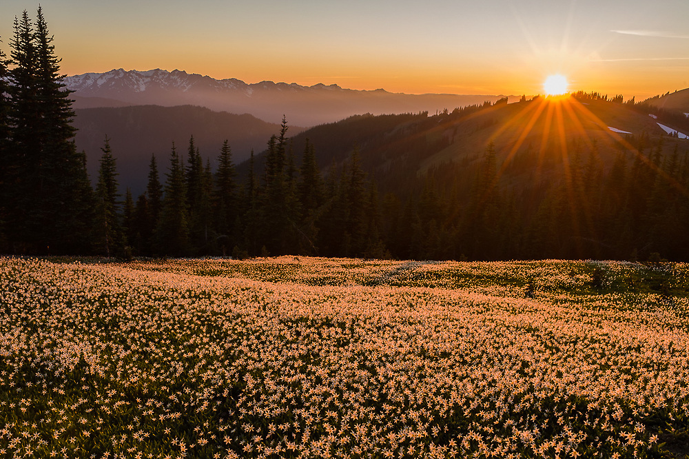 Alpine meadow populated with avalanche lilies (Erythronium montanum), sunset, July, Bailey Range in the distance, Olympic National Park, Washington, USA