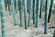 trunks of a bamboo forest garden Kamakura Japan