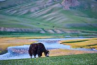 Mongolie, province de Bayankhongor, un yak dans la steppe // Mongolia, Bayankhongor province, an yak in the steppe