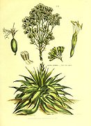 Agave lurida - Vera Cruz agave from Vol 1 of the book The universal herbal : or botanical, medical and agricultural dictionary : containing an account of all known plants in the world, arranged according to the Linnean system. Specifying the uses to which they are or may be applied By Thomas Green,  Published in 1816 by Nuttall, Fisher & Co. in Liverpool and Printed at the Caxton Press by H. Fisher