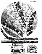 1: Underside of stinging nettle leaf 2: Beard of wild oat used in Hooke's hygrometer. 3: Section of head of wild oat. 4: Hooke's hygrometer. From Robert Hooke 'Micrographia' London 1665. Engraving .