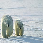 Polar Bear, (Ursus maritimus) Mother & cub wait for freezing of Hudson Bay. Churchill, Manitoba. Canada.