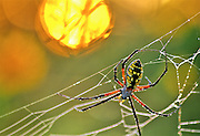 Black-and-yellow Argiope (Argiope aurantia), or common garden spider, on dew covered web at sunrise.