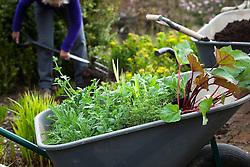 Carol Klein planting out summer flowering plants into a gap in the border. Achillea 'Fanal' syn. 'The Beacon', Rudbeckia fulgida var. deamii, Iris pseudacorus and rheum