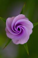 Garden Flower, Wirral, June