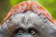 A close-up portrait of the  forehead of a dominant male orangutan (Pongo pygmaeus), Borneo, Indonesia