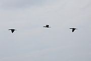 Thursday 14th August 2014: Three cormorants fly in formation.