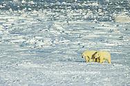 01874-07319 Polar Bear (Ursus maritimus) on the ice of Hudson Bay  Churchill MB