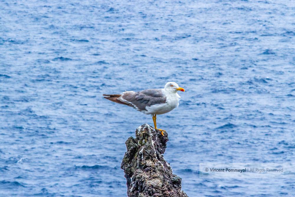 Yellow legged gull-Goéland leucophée (Larus michahellis), Birds of Azores Archipelago.