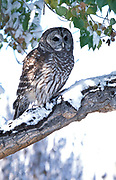 Barred owl Strix varia, bird of prey, hunts rodents, found mixed woodland river bottoms snowy winter