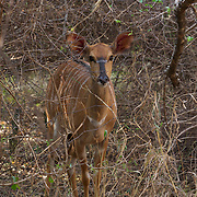Nyala, antelope species indigenous to South Africa.