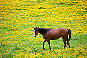 Dark bay Irish thoroughbred horse strolling in buttercup meadow in County Cork, Ireland