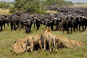 African Lion (Panthera leo) group feeding on Cape Buffalo (Syncerus caffer), Africa