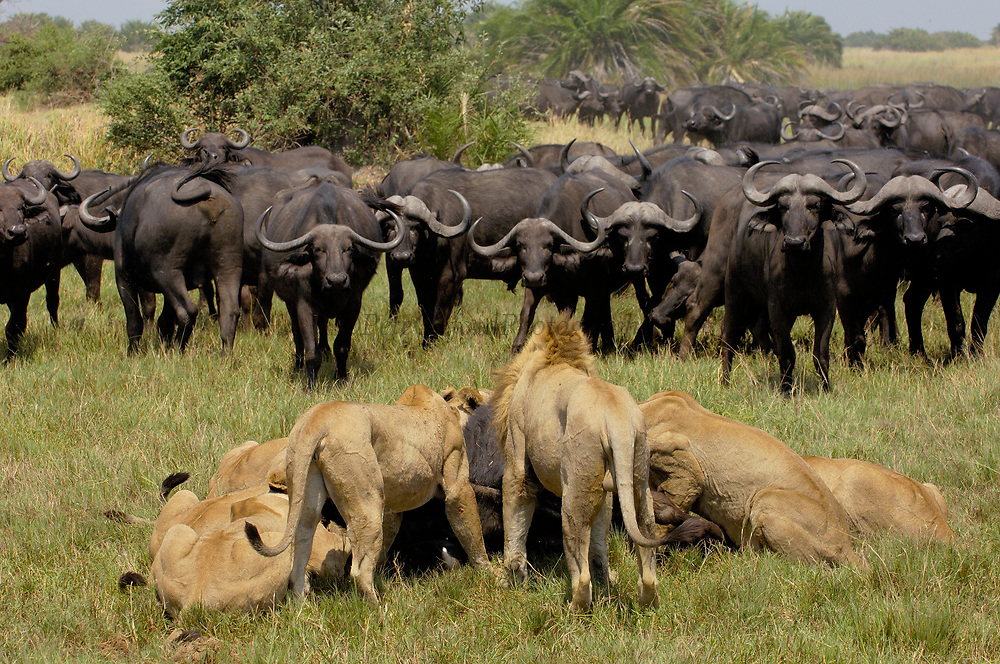 African Lion (Panthera leo) group feeding on Cape Buffalo (Syncerus caffer), Africa