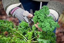 Harvesting curly kale
