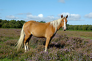 New Forest Pony Equus ferus caballus stands between 1.2m and 1.4m at the shoulder. Colour is variable but reddish brown is typical.