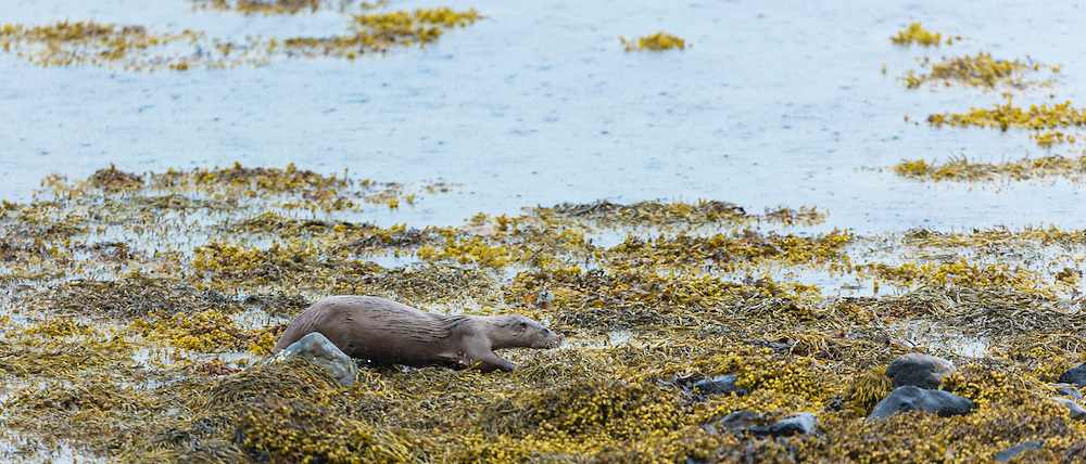 Sea Otter, Lutra lutra, carnivorous semi-aquatic mammal, hunting for food at side of loch on Isle of Mull in the Inner Hebrides and Western Isles, West Coast of Scotland