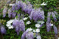 Wisteria floribunda and Clematis 'Wada's Primrose' at Sissinghurst Castle Garden