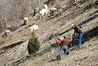 Mountain goats scamper up a hillside after Wyoming Game and Fish biologist Gary Frolick and warden Kyle Lash took a shot with a tranquilizer dart last week near Alpine. The shot missed its mark, and Frolick and Lash pursued the herd about 1,000 feet up the mountain before finally catching up to one of the critters.