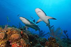 Caribbean reef sharks, Carcharhinus perezi, swimming over coral reef, Grand Bahama, Bahamas, Caribbean Sea, Atlantic Ocean