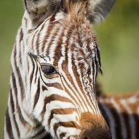Portrait of a plains zebra foal in the Ndutu Lake region of Tanzania