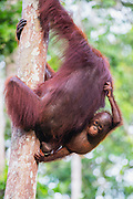 A young orangutan (Pongo pymaeus) hanging from its mother up in a tree, Tanjung Puting National Park, Central Kalimantan, Borneo, Indonesia