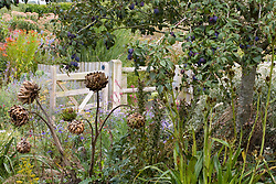 Plum tree, Prunus 'Quetsch d'Alsace', in fruit with seedheads of Artichoke 'Gros Vert De Laon', Acanthus hungaricus and Eryngium agavifolium
