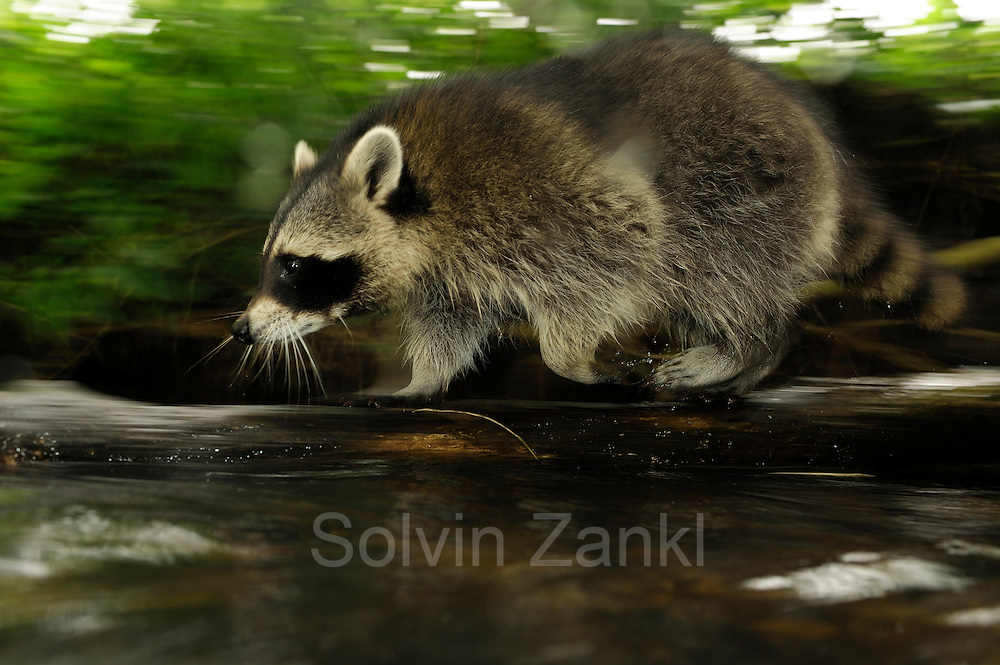 [captive] Raccoon (Procyon lotor); Mölln  in Schleswig-Holstein, Germany   Waschbär (Procyon lotor); Mölln im Südosten Schleswig-Holsteins, Deutschland