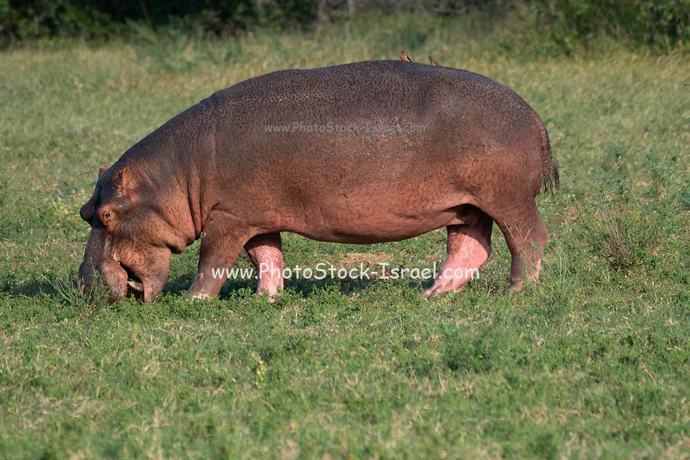 Hippopotamus grazing at Lake Kariba national park in Zimbabwe