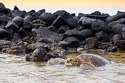 Tagged and released Green Sea Turtle, Chelonia mydas, resting at the piles of lava rocks of `Ai`Opio Fish Trap made by ancient Hawaiian, U.S. Marine Turtle Research, organized by researcher George Balazs PhD, NOAA National Marine Fisheries Service (NMFS), Hawaii Preparatory Academy (HPA) students and teachers (NOAA/HPA Marine Turtle Program), and ReefTeach volunteers at Kaloko-Honokohau National Historical Park, Kona Coast, Big Island, Hawaii, USA, Pacific Ocean